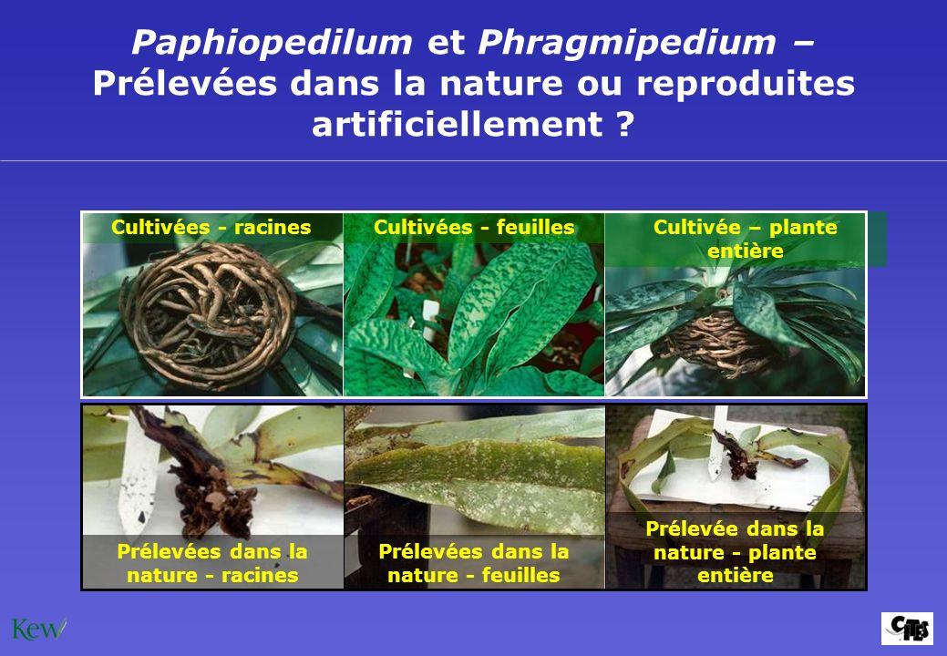 Paphiopedilum et Phragmipedium – Prélevées dans la nature ou reproduites artificiellement ? Prélevées dans la nature - racines Prélevée dans la nature