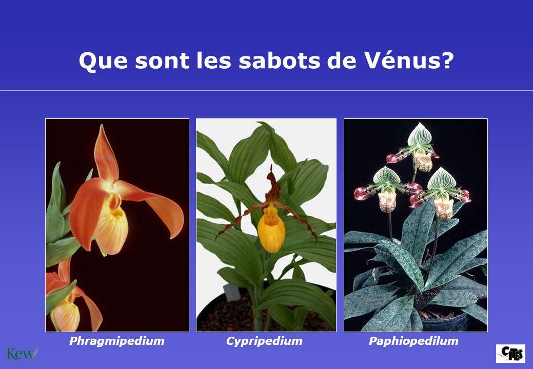 Que sont les sabots de Vénus? CypripediumPaphiopedilumPhragmipedium