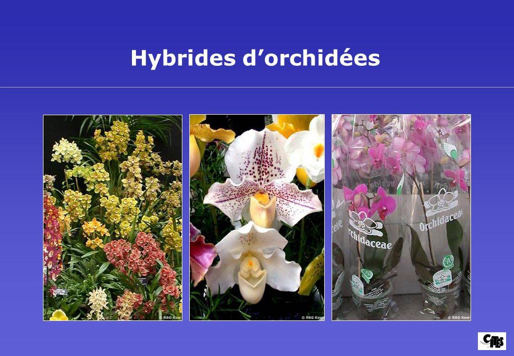 Hybrides dorchidées