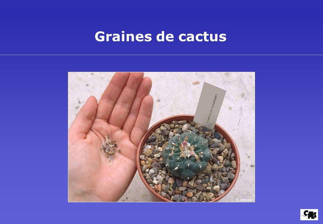 Graines de cactus