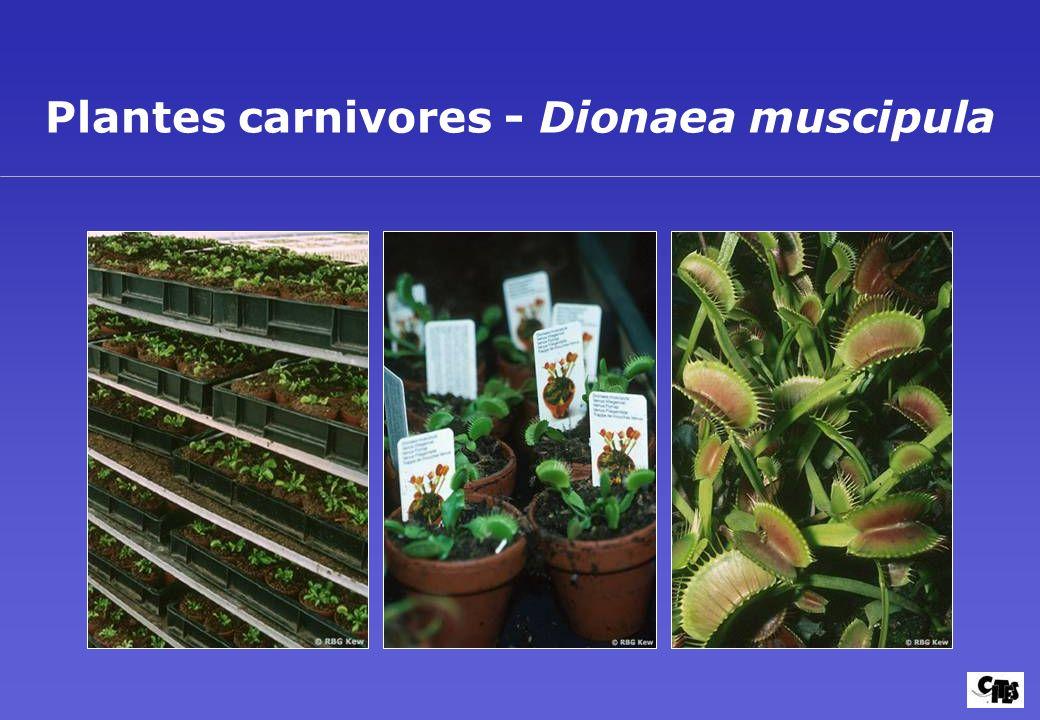 Plantes carnivores - Dionaea muscipula