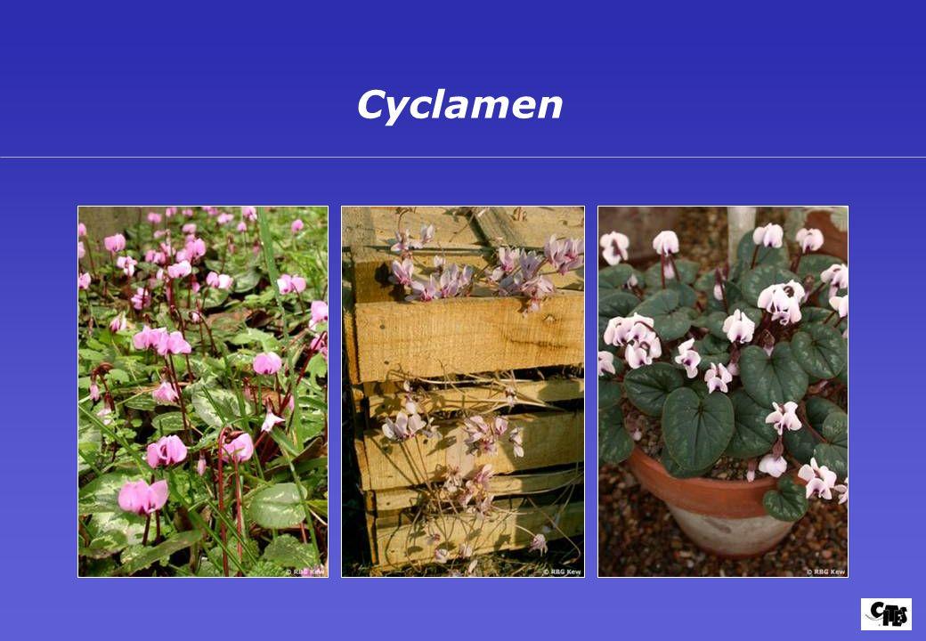 Cyclamen