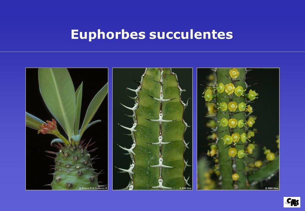 Euphorbes succulentes