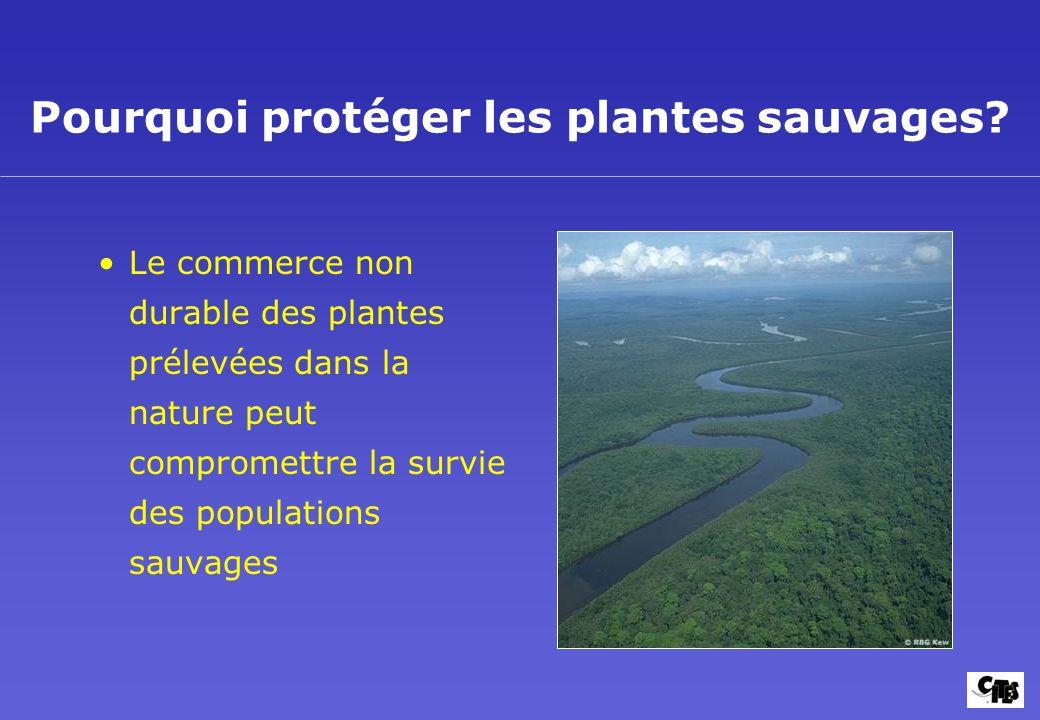 Pourquoi protéger les plantes sauvages? Le commerce non durable des plantes prélevées dans la nature peut compromettre la survie des populations sauva