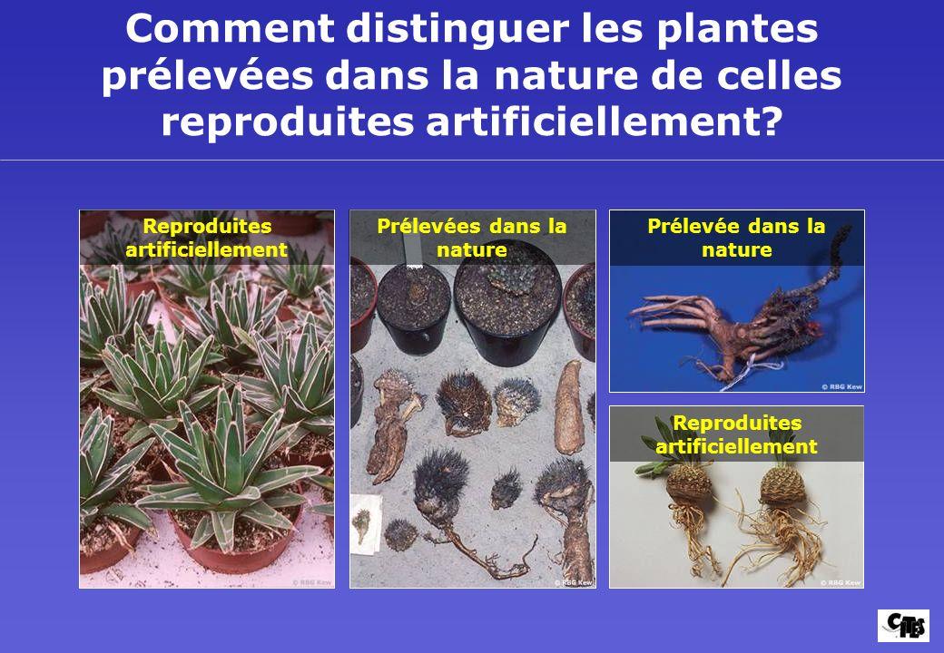 Comment distinguer les plantes prélevées dans la nature de celles reproduites artificiellement? Reproduites artificiellement Prélevées dans la nature