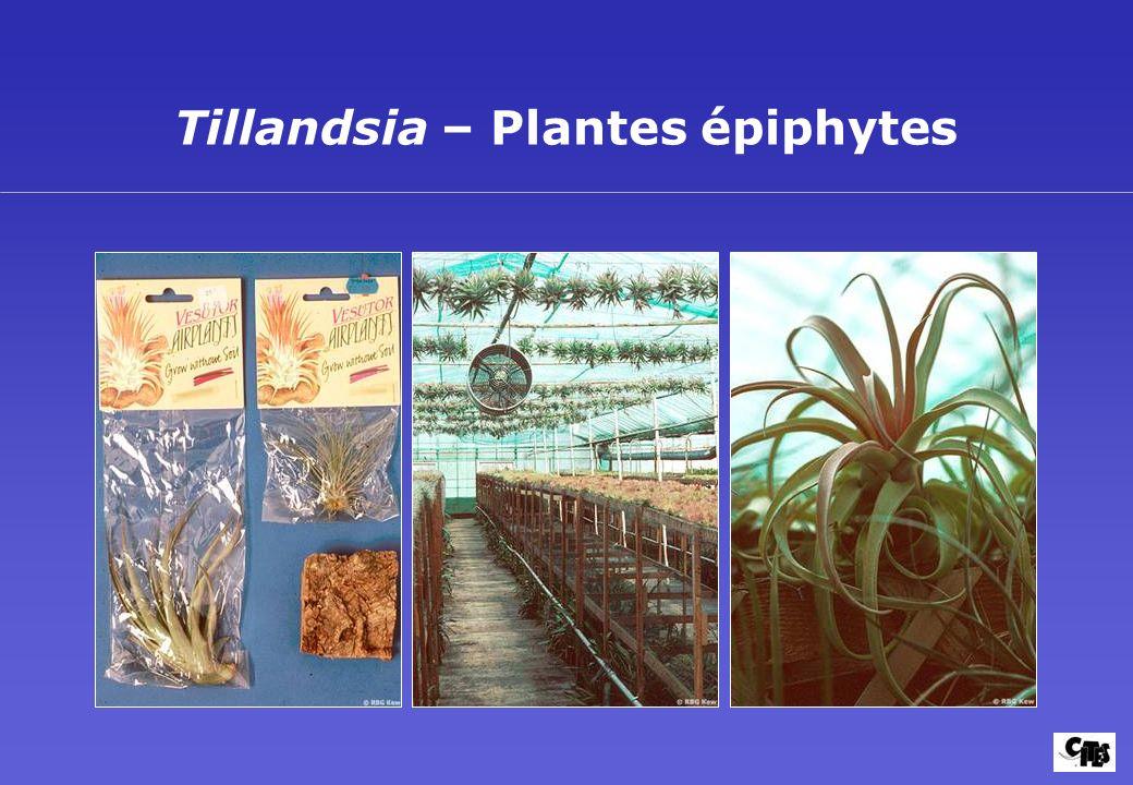 Tillandsia – Plantes épiphytes