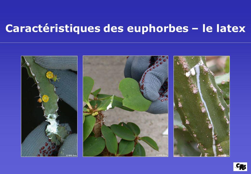 Caractéristiques des euphorbes – le latex