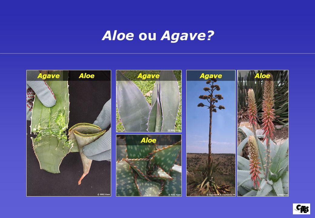 Aloe ou Agave? AloeAgave Aloe Agave