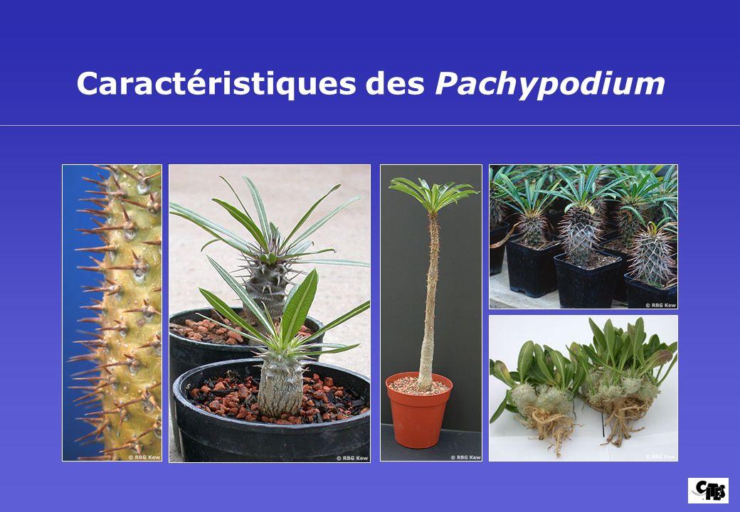 Caractéristiques des Pachypodium