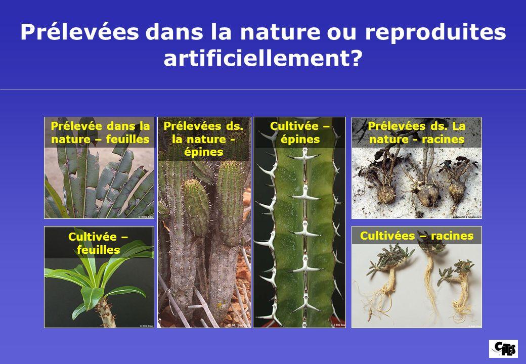 Prélevées dans la nature ou reproduites artificiellement? Cultivée – feuilles Cultivée – épines Prélevées ds. La nature - racines Prélevées ds. la nat