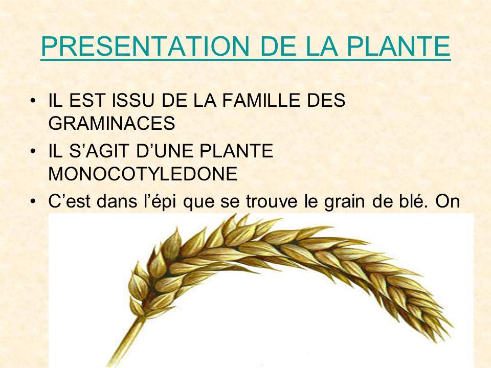 PRESENTATION DE LA PLANTE IL EST ISSU DE LA FAMILLE DES GRAMINACES IL SAGIT DUNE PLANTE MONOCOTYLEDONE Cest dans lépi que se trouve le grain de blé.