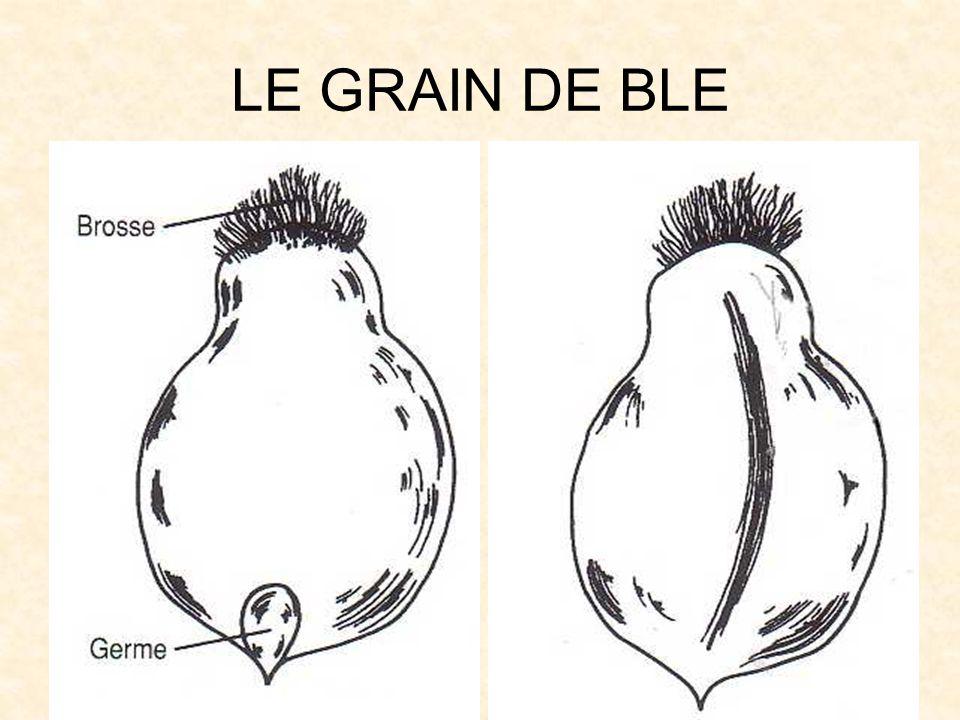 LE GRAIN DE BLE