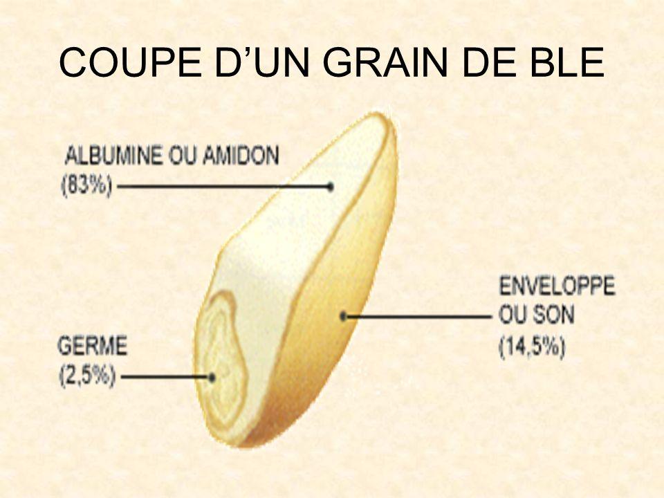 COUPE DUN GRAIN DE BLE
