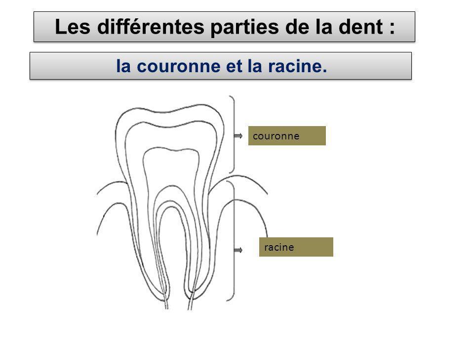 Les différentes parties de la dent : la couronne et la racine. couronne racine