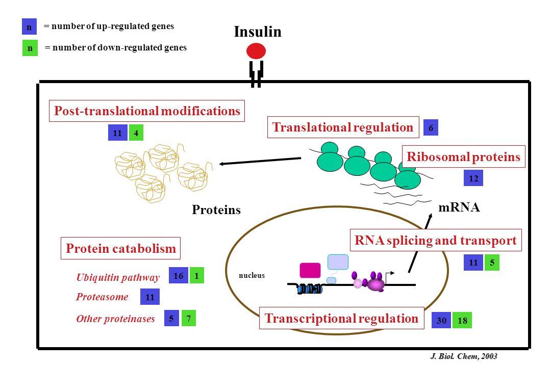 Insulin nucleus Transcriptional regulation RNA splicing and transport mRNA Translational regulation Proteins Post-translational modifications Protein