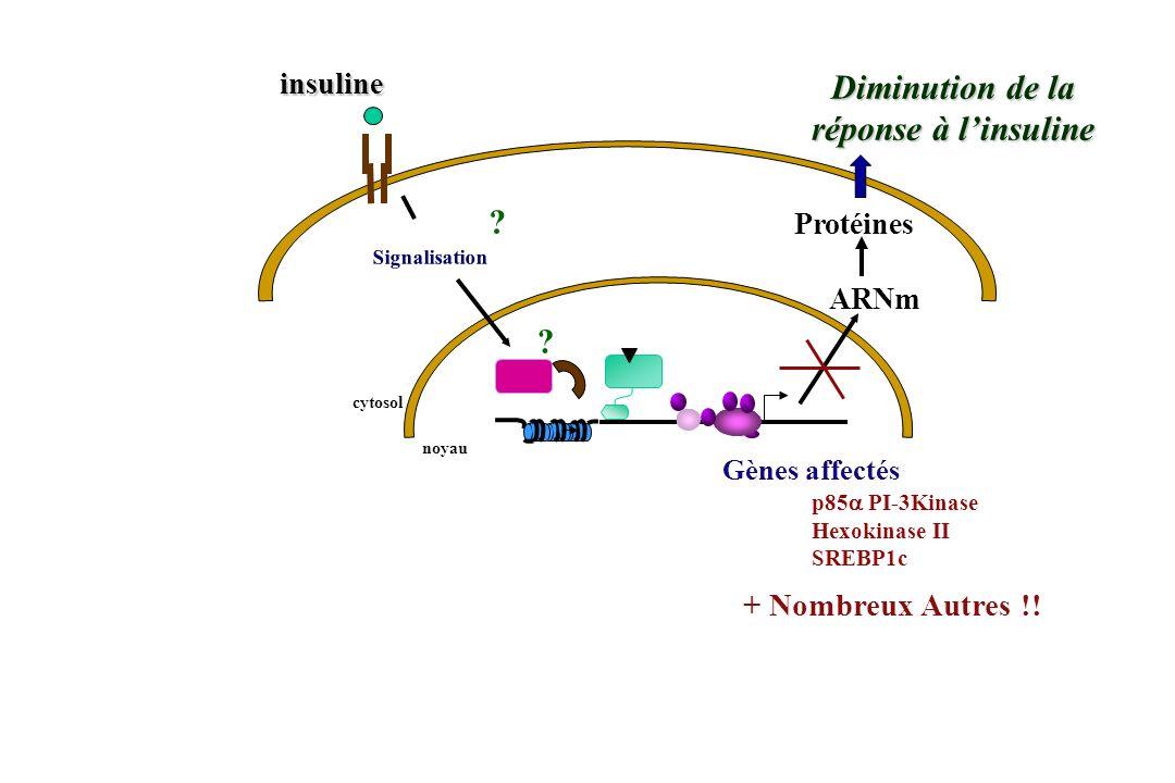 noyau ARNm Protéines cytosol ? Diminution de la réponse à linsuline insuline Signalisation Gènes affectés p85 PI-3Kinase Hexokinase II SREBP1c ? + Nom