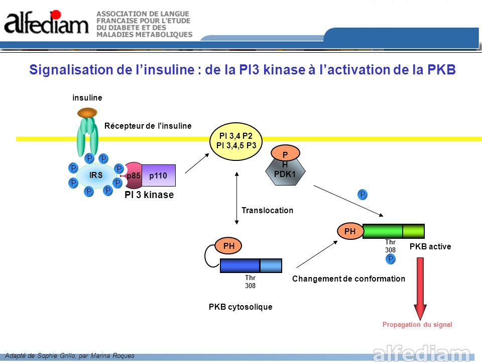 PKB activée Survie des cellules Caspase 9 - Facteurs de Transcription forkhead - - + - GSK3 Synthèse de glycogène Régulation de la traduction + mTOR BAD Bcl-Xl Bcl 2 IkB kinase IkB p NF kB Transcription de gènes anti-apoptotiques Inhibition de la transcription eIF2B GS 4EBP1 p PDE 3B Effets anti-cataboliques Transport de glucose Actions de linsuline Gènes pro- apoptotiques PEPCK IGF1 BPI + + + Expression de gènes AMPc Les actions médiées par la PKB activée Adapté de Sophie Grillo, par Marina Roques