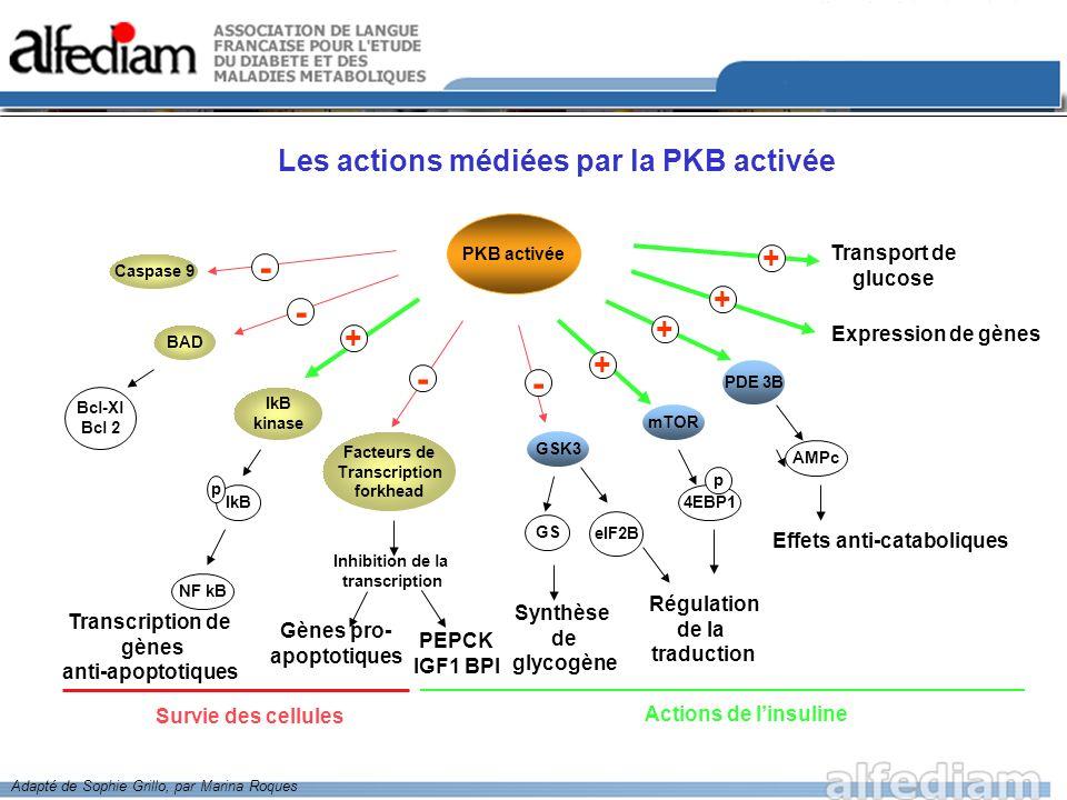 PKB activée Survie des cellules Caspase 9 - Facteurs de Transcription forkhead - - + - GSK3 Synthèse de glycogène Régulation de la traduction + mTOR B