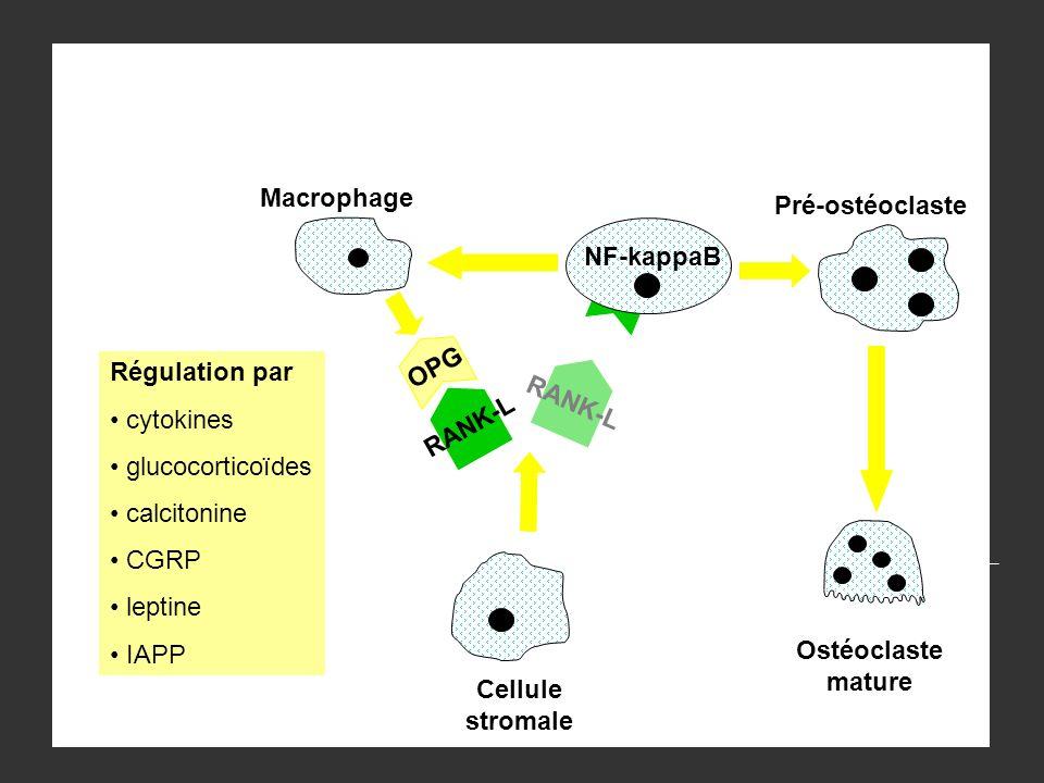 NF-kappaB Cellule stromale Pré-ostéoclaste Ostéoclaste mature Macrophage RANK-L OPG RANK-L Régulation par cytokines glucocorticoïdes calcitonine CGRP