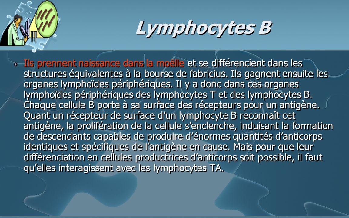 Lymphocytes B Ils prennent naissance dans la moëlle et se différencient dans les structures équivalentes à la bourse de fabricius. Ils gagnent ensuite