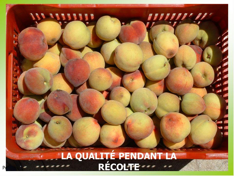 Présentation 3.2 Les fruits climatériques sont sensibles à léthylène au début de leur maturation (autocatalyse).