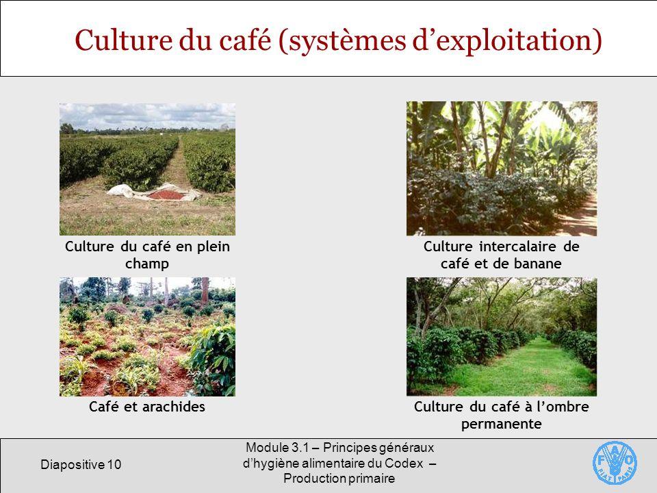 Diapositive 10 Module 3.1 – Principes généraux dhygiène alimentaire du Codex – Production primaire Culture du café (systèmes dexploitation) Culture du café en plein champ Culture intercalaire de café et de banane Café et arachidesCulture du café à lombre permanente