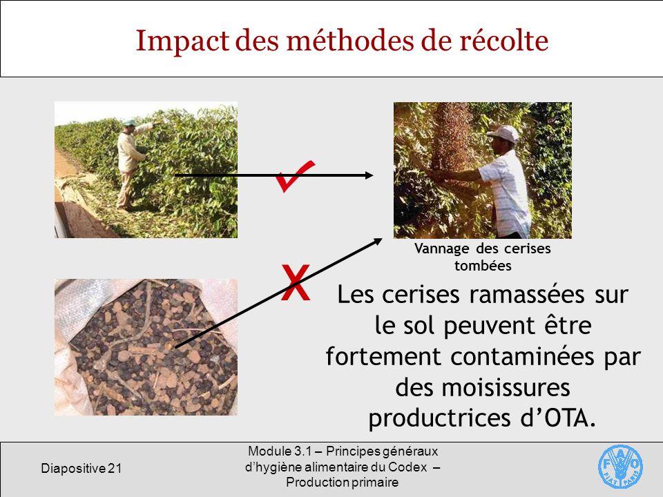 Diapositive 21 Module 3.1 – Principes généraux dhygiène alimentaire du Codex – Production primaire Impact des méthodes de récolte Les cerises ramassées sur le sol peuvent être fortement contaminées par des moisissures productrices dOTA.