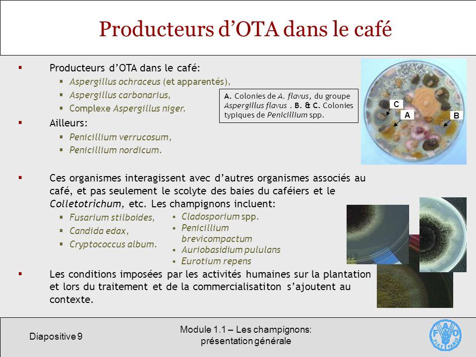 Diapositive 9 Module 1.1 – Les champignons: présentation générale Producteurs dOTA dans le café Producteurs dOTA dans le café: Aspergillus ochraceus (