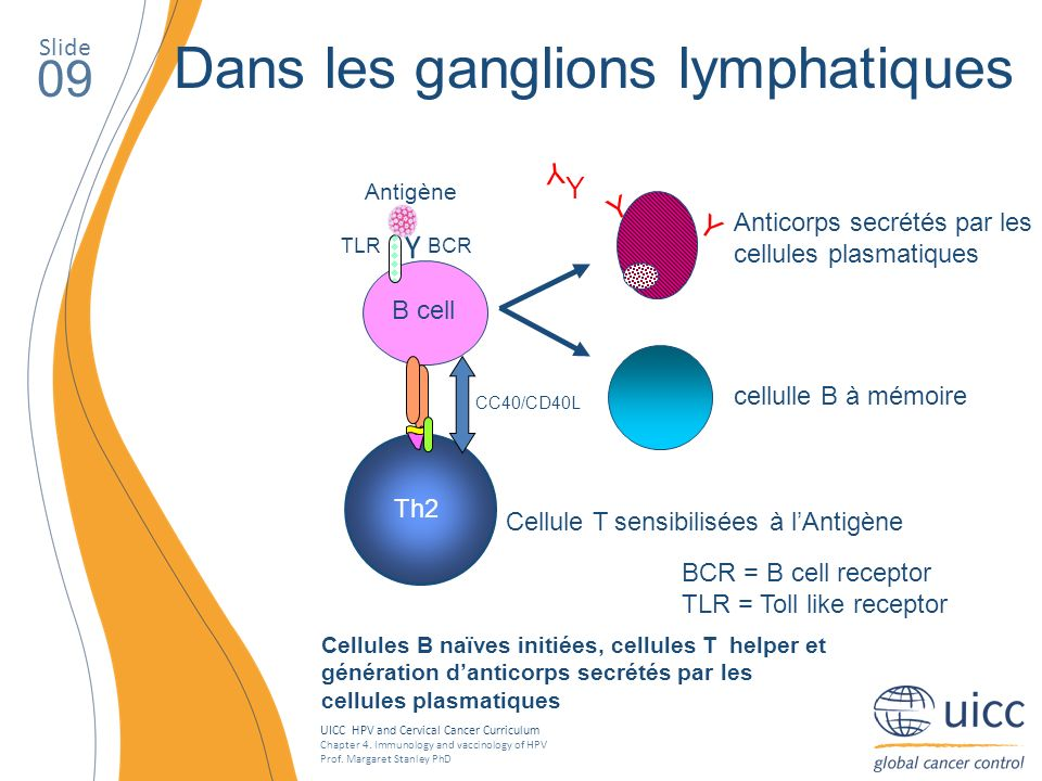UICC HPV and Cervical Cancer Curriculum Chapter 4. Immunology and vaccinology of HPV Prof. Margaret Stanley PhD Slide 09 Dans les ganglions lymphatiqu