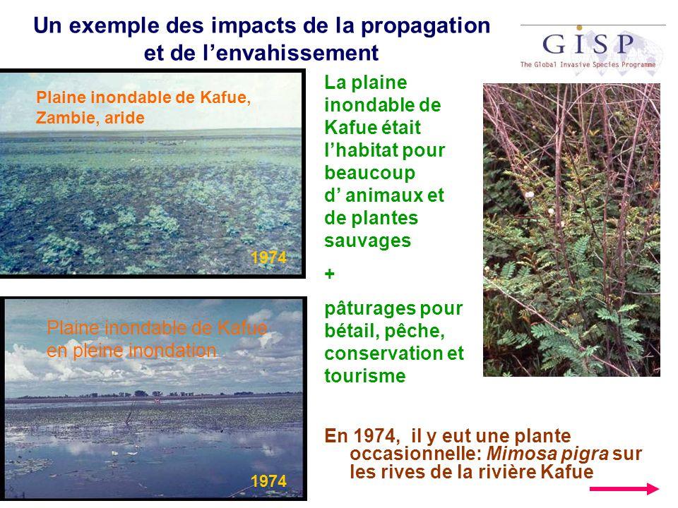 Mimosa pigra (suite) En 1981/82, une inondation majeure a apporté quelques plantes de lespèce Mimosa pigra dans la plaine ( qui représentait un nouvel écosystème changé par un barrage en amont) 1982