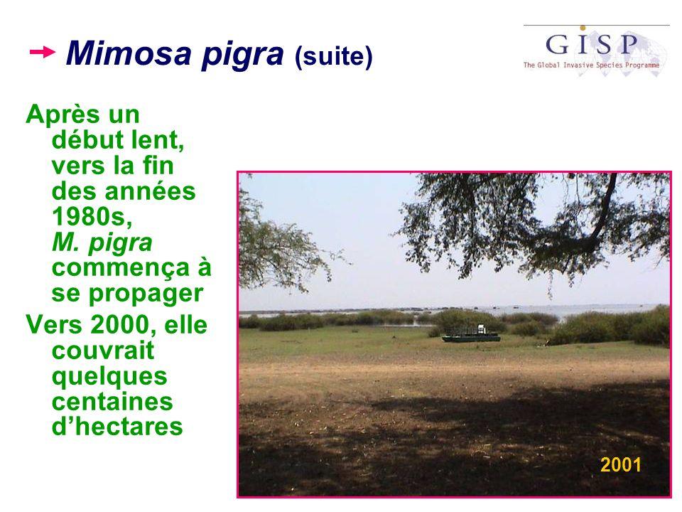 Mimosa pigra (suite) Après un début lent, vers la fin des années 1980s, M. pigra commença à se propager Vers 2000, elle couvrait quelques centaines dh