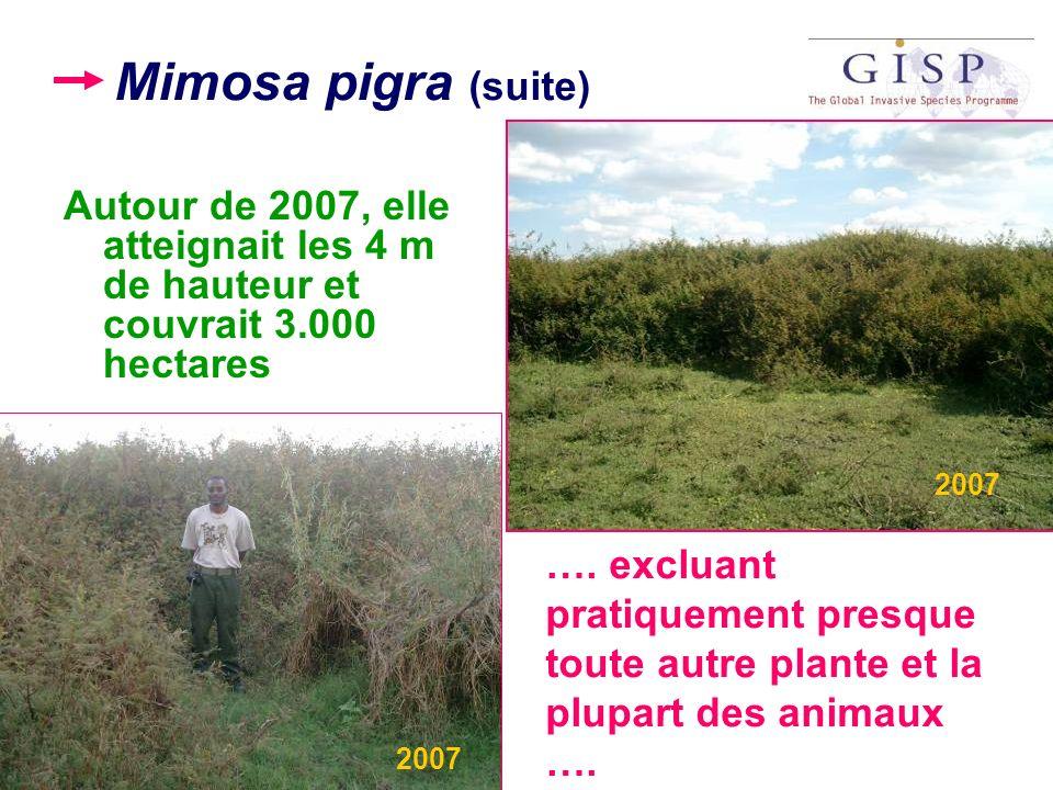 Mimosa pigra (suite) Autour de 2007, elle atteignait les 4 m de hauteur et couvrait 3.000 hectares …. excluant pratiquement presque toute autre plante