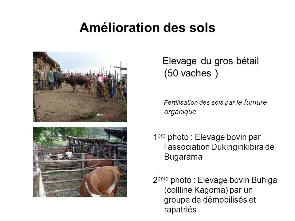 Amélioration des sols Elevage du gros bétail (50 vaches ) Fertilisation des sols par la fumure organique 1 ère photo : Elevage bovin par lassociation