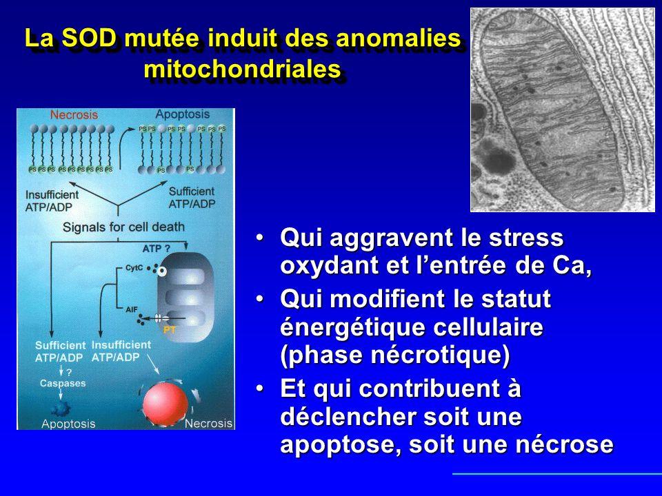 La SOD mutée induit des anomalies mitochondriales Qui aggravent le stress oxydant et lentrée de Ca,Qui aggravent le stress oxydant et lentrée de Ca, Q