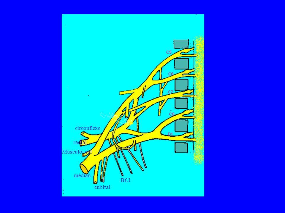 médian cubital Musculo- cut radial circonflexe BCI