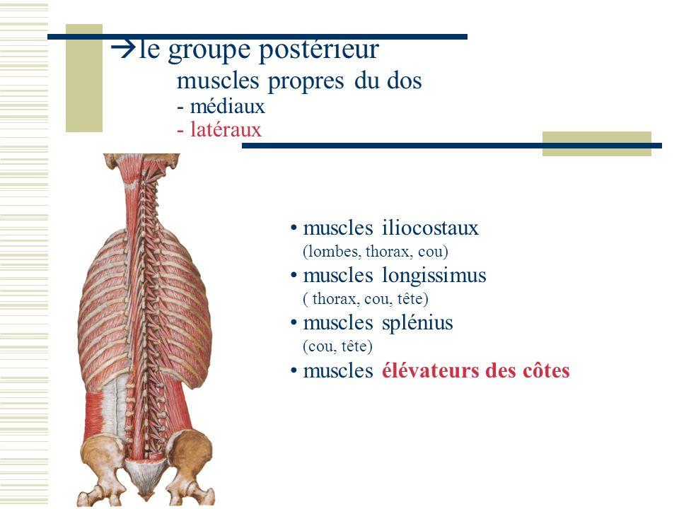 le groupe postérieur muscles propres du dos - médiaux - latéraux muscles iliocostaux (lombes, thorax, cou) muscles longissimus ( thorax, cou, tête) mu