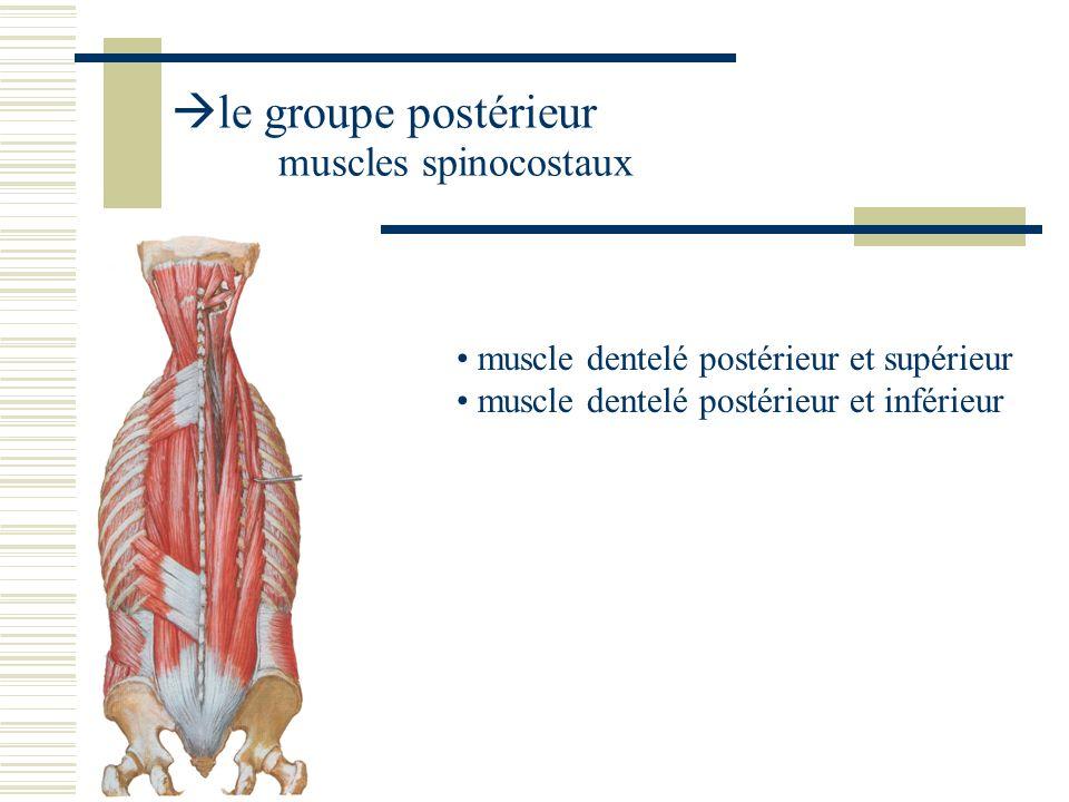 le groupe postérieur muscles spinocostaux muscle dentelé postérieur et supérieur muscle dentelé postérieur et inférieur