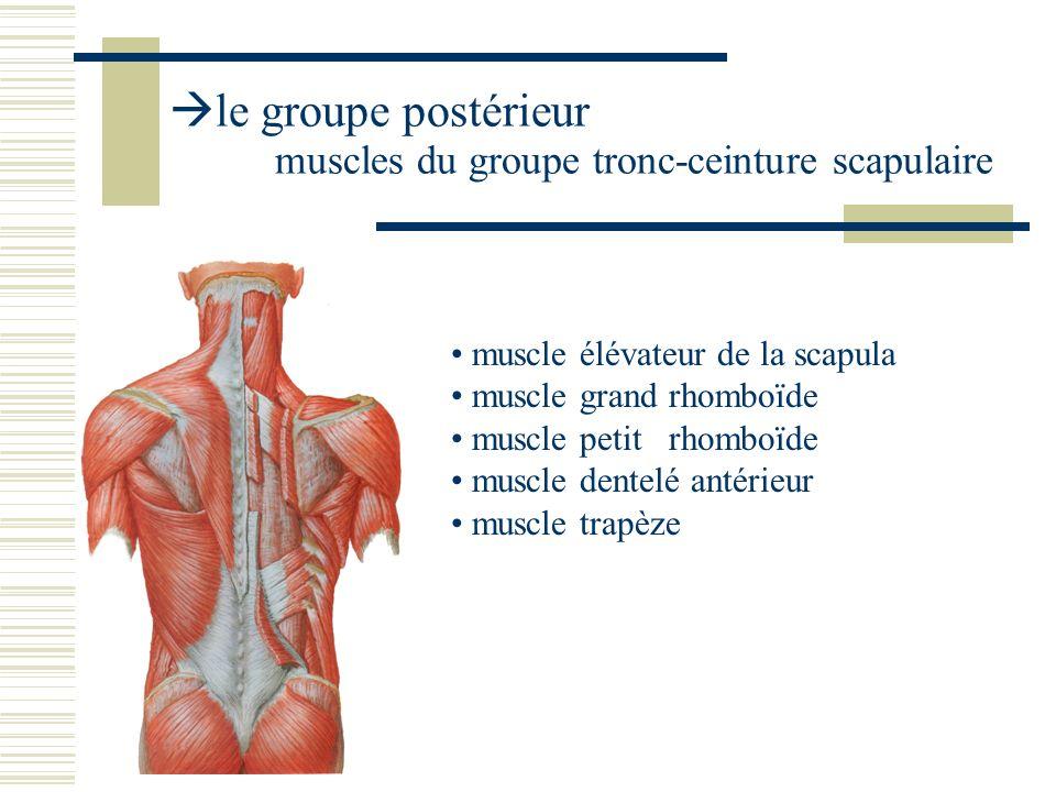 le groupe postérieur muscles du groupe tronc-ceinture scapulaire muscle élévateur de la scapula muscle grand rhomboïde muscle petit rhomboïde muscle d