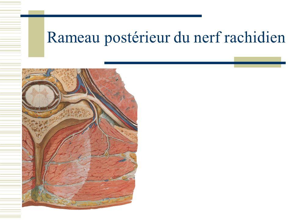 Rameau postérieur du nerf rachidien