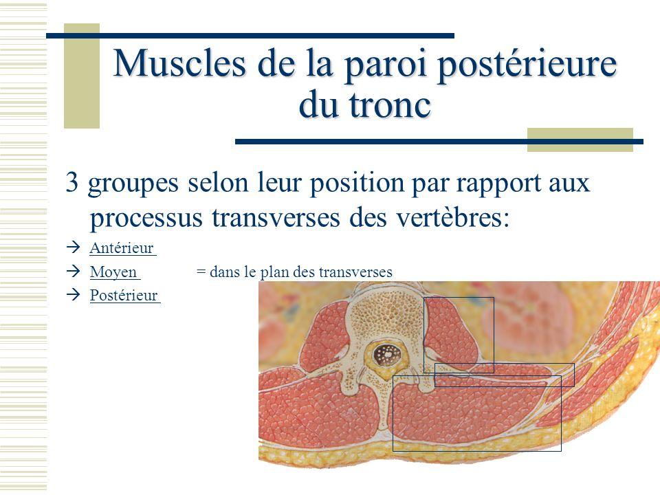 Muscles de la paroi postérieure du tronc 3 groupes selon leur position par rapport aux processus transverses des vertèbres: Antérieur Moyen = dans le
