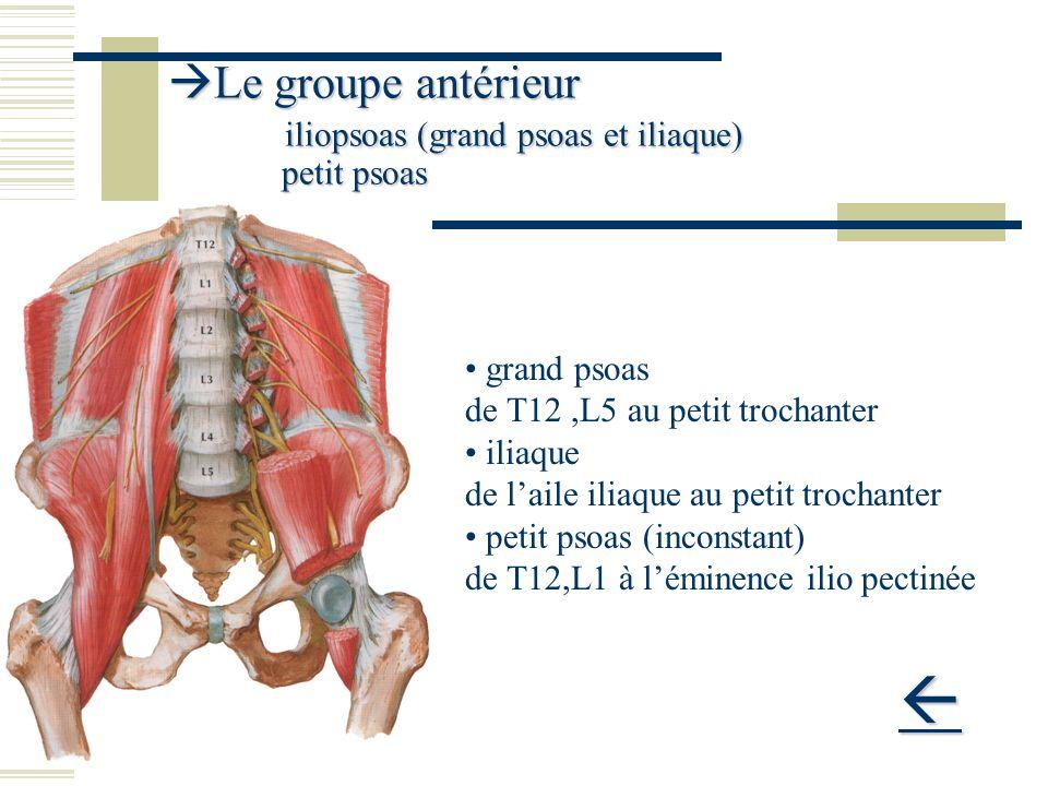 Le groupe antérieur iliopsoas (grand psoas et iliaque) petit psoas Le groupe antérieur iliopsoas (grand psoas et iliaque) petit psoas grand psoas de T