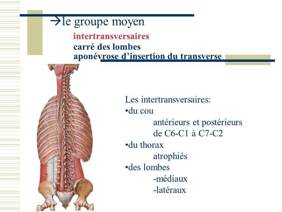 le groupe moyen intertransversaires carré des lombes aponévrose dinsertion du transverse le carré des lombes: 3 sortes de faisceaux ilio costaux ilio transversaires costo transversaires dans lépaisseur des précédents