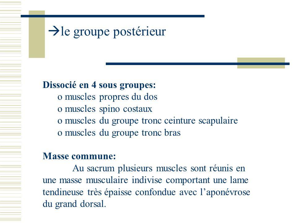 Dissocié en 4 sous groupes: o muscles propres du dos o muscles spino costaux o muscles du groupe tronc ceinture scapulaire o muscles du groupe tronc b