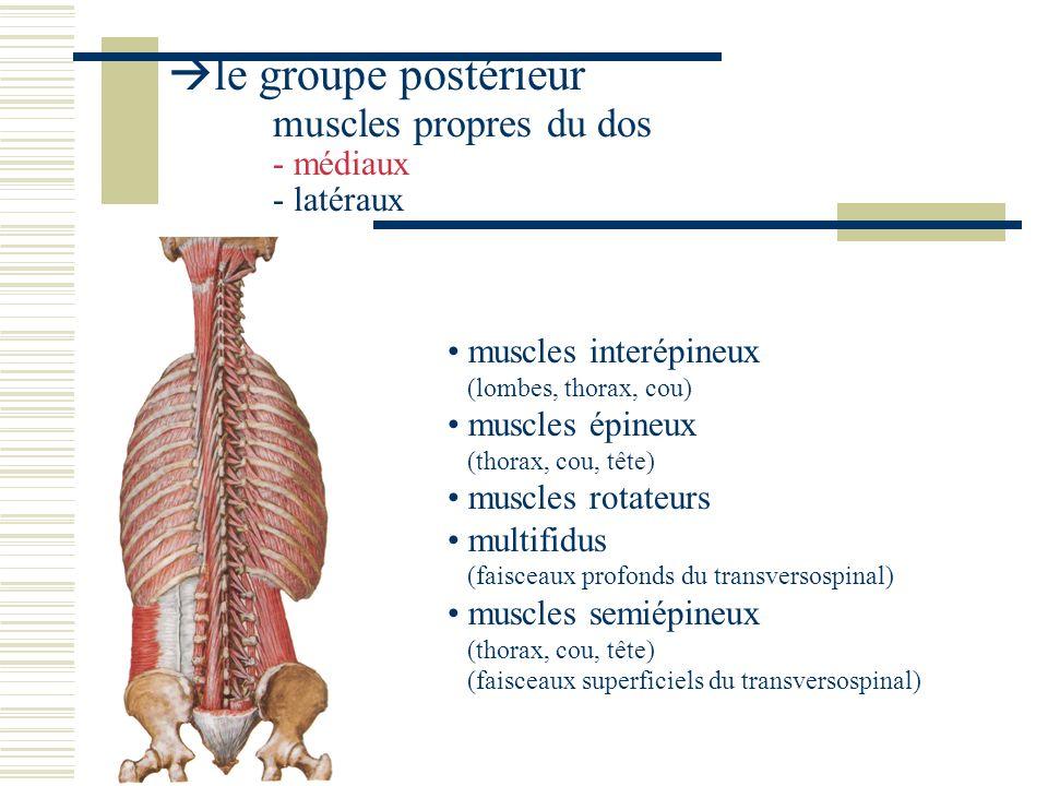 le groupe postérieur muscles propres du dos - médiaux - latéraux muscles interépineux (lombes, thorax, cou) muscles épineux (thorax, cou, tête) muscles rotateurs multifidus (faisceaux profonds du transversospinal) muscles semiépineux (thorax, cou, tête) (faisceaux superficiels du transversospinal)