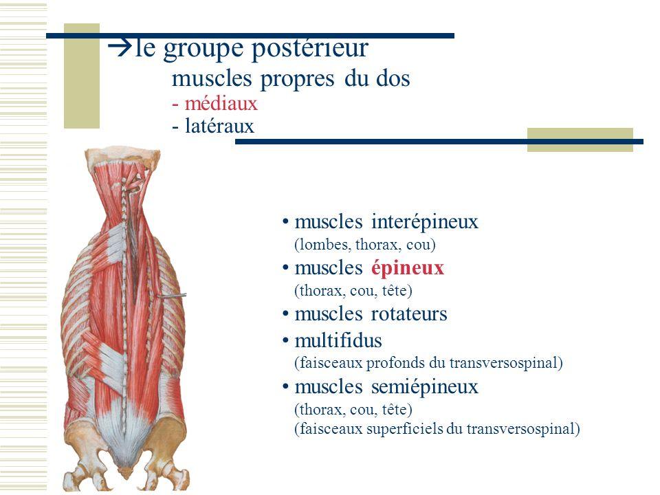 le groupe postérieur muscles propres du dos - médiaux - latéraux muscles iliocostaux (lombes, thorax, cou) muscles longissimus ( thorax, cou, tête) muscles splénius (cou, tête) muscles élévateurs des côtes