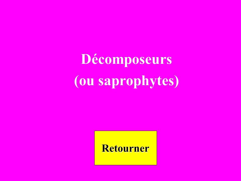Décomposeurs (ou saprophytes) Retourner