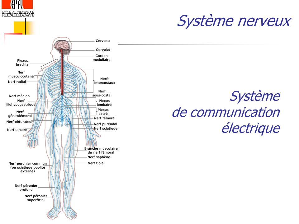 ECOLE POLYTECHNIQUE FEDERALE DE LAUSANNE Système nerveux Système de communication électrique
