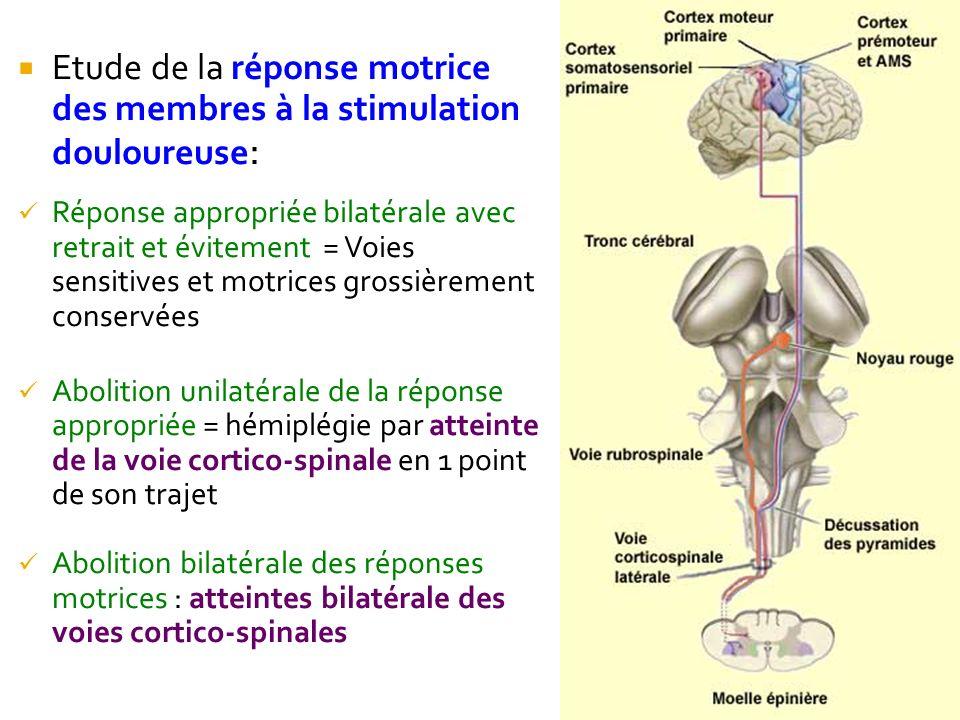 Etude de la réponse motrice des membres à la stimulation douloureuse : Réponse appropriée bilatérale avec retrait et évitement = Voies sensitives et m