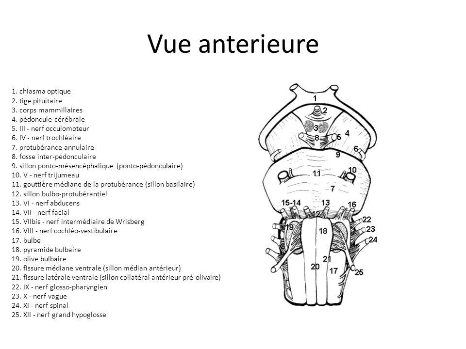 Vue anterieure 1. chiasma optique 2. tige pituitaire 3. corps mammillaires 4. pédoncule cérébrale 5. III - nerf occulomoteur 6. IV - nerf trochléaire