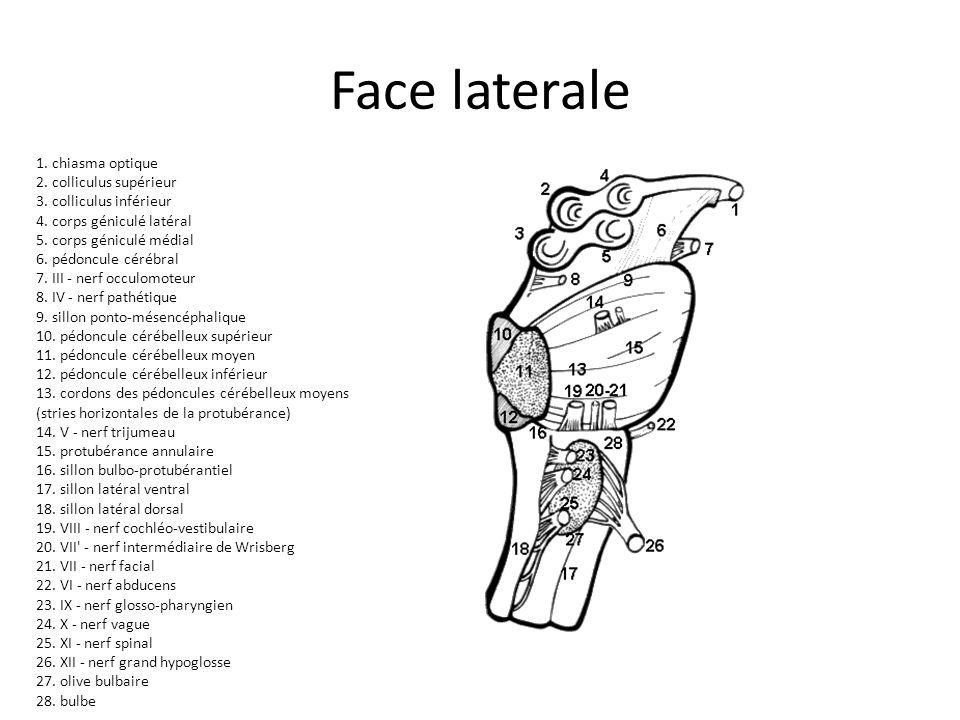 Face laterale 1. chiasma optique 2. colliculus supérieur 3. colliculus inférieur 4. corps géniculé latéral 5. corps géniculé médial 6. pédoncule céréb